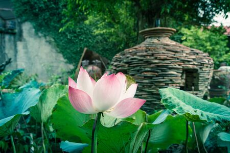 Single blossom pink lotus flower with ceramic pot fountain jar in background. Lotus is national flower of India and Vietnam Imagens - 134658501