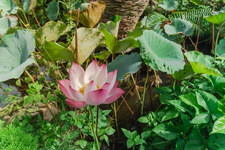 Top view blossom pink lotus flower with golden stamen at backyard garden pond in Vietnam. Beautiful blooming flower with large green leaf at summertime. Imagens - 134658503