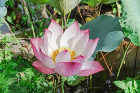 Top view blossom pink lotus flower with golden stamen at backyard garden pond in Vietnam. Beautiful blooming flower with large green leaf at summertime. Imagens - 134658505