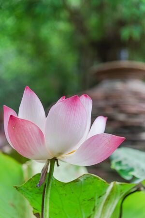 Single blossom pink lotus flower with ceramic pot fountain jar in background. Lotus is national flower of India and Vietnam Imagens - 134658507