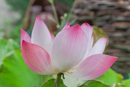 Single blossom pink lotus flower with ceramic pot fountain jar in background. Lotus is national flower of India and Vietnam