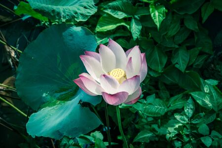 Top view blossom pink lotus flower with golden stamen at backyard garden pond in Vietnam. Beautiful blooming flower with large green leaf at summertime.