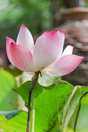 Bright pink and white lotus flower in full bloom with nice natural bokeh background. Blossom lotus with large green leaf at summertime in Vietnam.