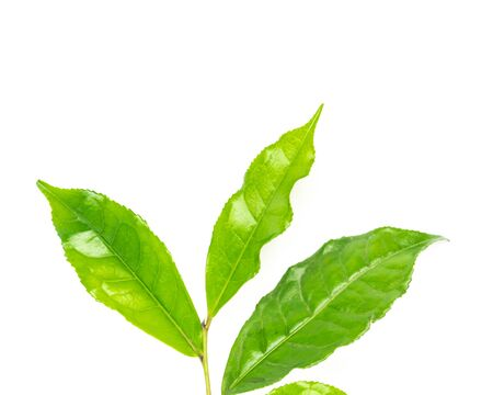 Leafy branch of young green tea leaves isolated on white background. Freshly picked from home growth organic tea plantation. Tropical leaf with clipping path and copy space.