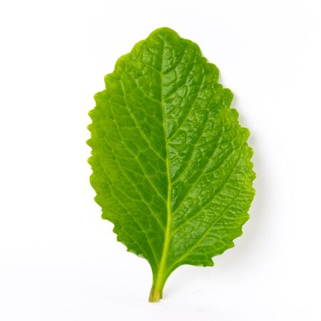 Single fresh picked organic Mexican mint Plectranthus amboinicus leaf isolated on white background. Other name of this fragrant plant Indian borage, Spanish thyme, country borage Reklamní fotografie