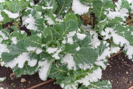 Community garden raised bed allotment with irrigation system and snow covered on organic broccoli leaves near Dallas, Texas, America. Plot grown cool weather vegetable in severe winter time chill