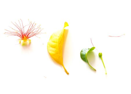 Studio shot collection of flower, bud and leaves of barringtonia acutangula isolated on white