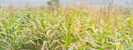 Panorama view close-up view an organic corn farm in the North Vietnam. Corn plantation food with cob and male flowers. Rural countryside Vietnamese agricultural background.