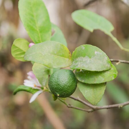 Organic green lime with pink and white flowers on tree in the garden in the North Vietnam. Nature blossom citrus spp, citrus limon pink and white flowers at springtime. Stockfoto