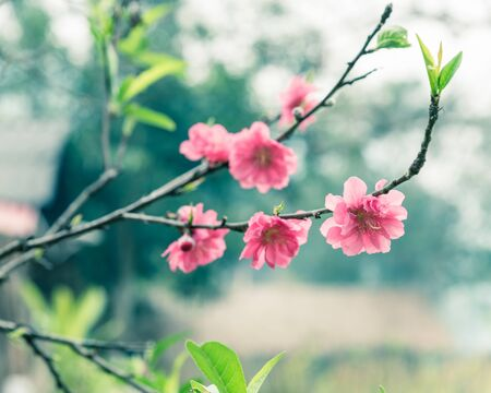 Close-up selective focus peach flower blossom and blur wooden house in background and in rural North Vietnam. This is ornament trees for Vietnamese Lunar New Year Tet in springtime.
