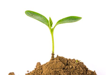 Close-up small young plant growing up from black heap potting soil isolated white background. Green spout seedling for save and safe conservation environment. Organic growing, clean ecosystem concept