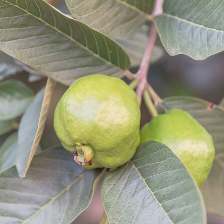 Two green guavas hanging on tree branch at home garden in Vietnam. Organic tropical fruits background
