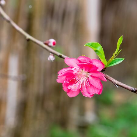 Single peach flower blossom in rural North Vietnam with wooden fence in background. This is ornament trees for Vietnamese Lunar New Year Tet in springtime.