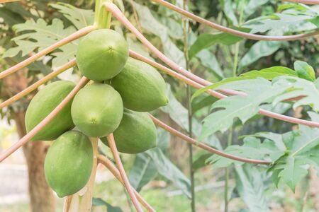Bunch of green papaya on tree branch at garden in North Vietnam. Organic papaw or pawpaw tropical fruit growing with long leaves stem