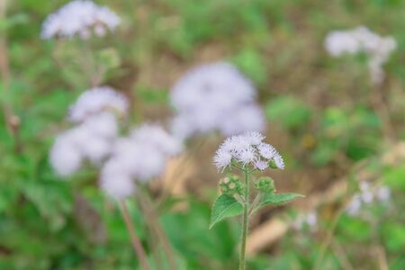Selective focus blossom Ageratum conyzoides flower in rural area of North Vietnam. Beauty flower with mauve color and a white frame. In Vietnamese, the plant is called cut lon pig feces Banco de Imagens