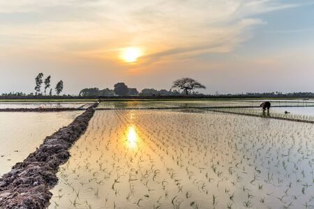 Rear view a female farmer planting on rice field at sunset in rural Hanoi, Vietnam. Young rice sprouts ready to growing. Organic paddy farmland, terminalia catappa or tropical almond is in distance Banque d'images