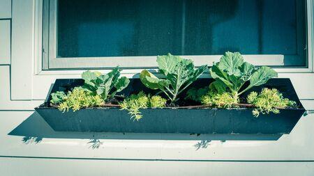 Broccoli organici che crescono su scatole di finestre nere con sistema di irrigazione a goccia. Giovane pianta verde coltivata in casa su un contenitore posto soleggiato sul muro di raccordo bianco della casa residenziale in America.
