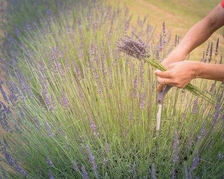 Close-up hand of Asian lady is cutting lavender at local farm in Gainesville, Texas, America. Hand harvesting blooming flower Stockfoto