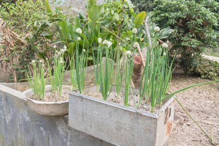Rustic metal pots with green onion scallions flowering at organic garden in rural Vietnam during spring time. Spice herb flower buds close-up Banco de Imagens