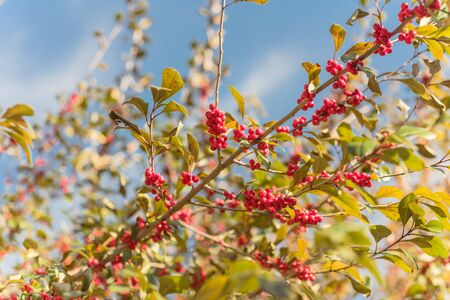 Ilex Decidua or winter berry, Possum Haw, Deciduous Holly red fruits on large shrub small tree under cloud blue sky. Blaze of color in the fall in Dallas, Texas. Stockfoto