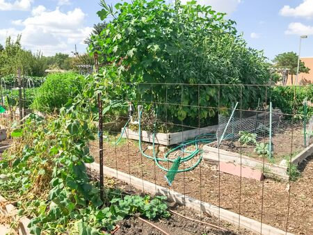 Community garden North of Dallas, Texas, America with raised bed, trellis and green lush of vegetable, crops ready to harvest. Urban self sufficient life style in a compact growing space, late summer