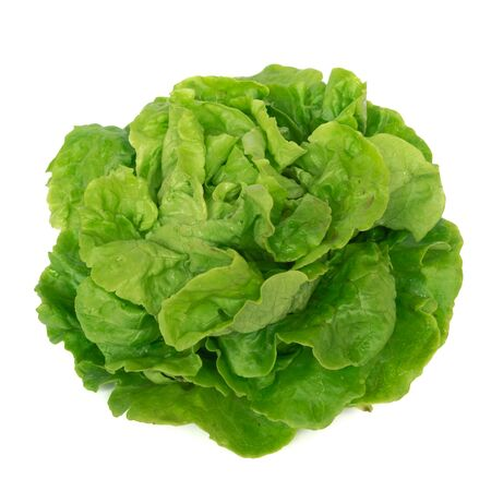 Organic homegrown Tom Thumb lettuce isolated on white background. Tennis ball size, bright green lettuce with compact heads, crumpled leaves. Asian variety Stockfoto