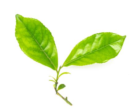 Leafy branch of young green tea leaves isolated on white background. Freshly picked from home growth organic tea plantation. Tropical leaf with copy space.