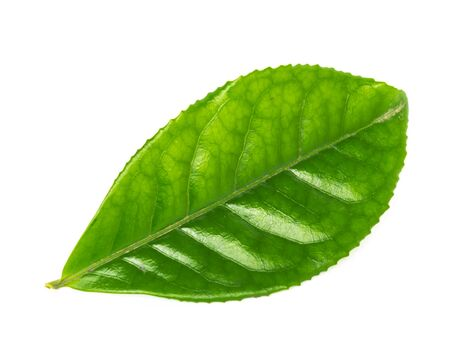 Single young green tea leaf isolated on white background. Freshly picked from home growth organic tea plantation