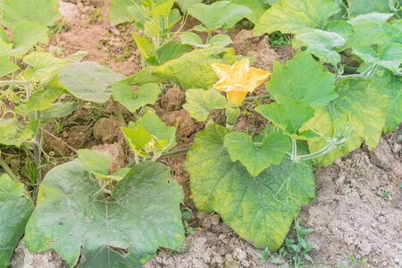 Top view a pumpkin farm in the North Vietnam with yellow squash flower and young fruit. Strong green pumpkin vine growing on clay soil with weed. Agriculture background.