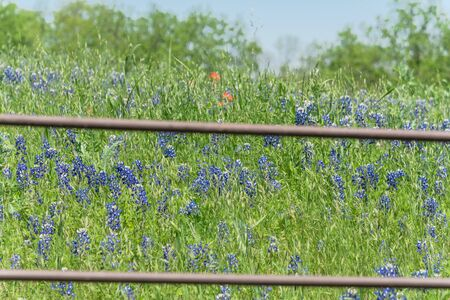 Beautiful blossom bluebonnet fields along rustic fence in countryside of Texas, USA. Nature spring wildflower full blooming again clear blue sky, Texas State flower background Foto de archivo - 138396440