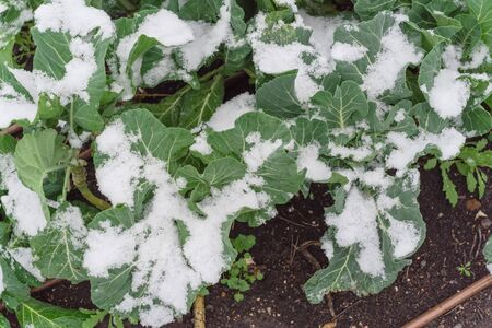 Snow covered organic broccoli growing in raised garden bed near Dallas, Texas, America. Top view homegrown cool weather vegetable under severe winter time chill temperature.