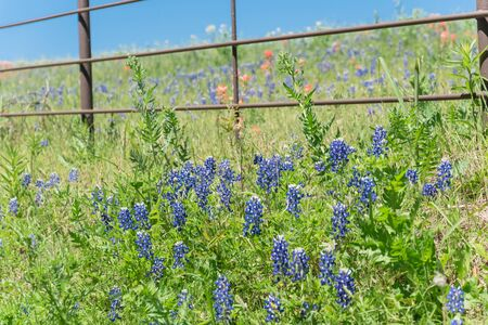 Beautiful blossom bluebonnet fields along rustic fence in countryside of Texas, USA. Nature spring wildflower full blooming again clear blue sky, Texas State flower background Foto de archivo - 138396106