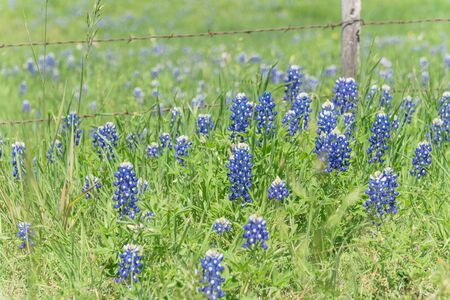 Blossom bluebonnet fields along rustic steel wired fence in countryside of Texas, USA. Nature spring wildflower full blooming again clear blue sky