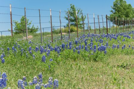 Beautiful blossom bluebonnet fields along rustic fence in countryside of Texas, USA. Nature spring wildflower full blooming again clear blue sky, Texas State flower background