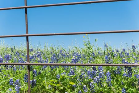 Beautiful blossom bluebonnet fields along rustic fence in countryside of Texas, USA. Nature spring wildflower full blooming again clear blue sky, Texas State flower background Foto de archivo - 138396660
