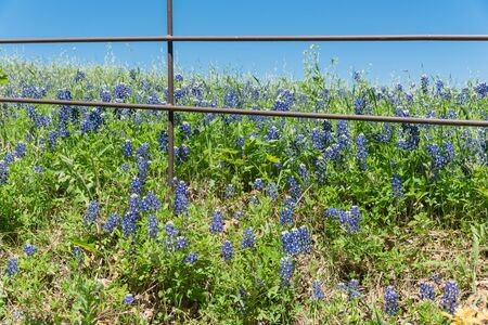 Beautiful blossom bluebonnet fields along rustic fence in countryside of Texas, USA. Nature spring wildflower full blooming again clear blue sky, Texas State flower background Stock Photo