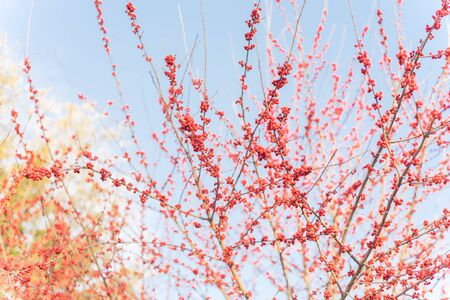 Lookup view of Ilex Decidua or winter berry, Possum Haw, Deciduous Holly red fruits on large shrub small tree, no leaves dormant. Blaze of color in the fall in Dallas, Texas. Crimson winterberry