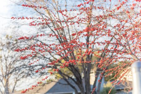 Beautiful backyard winter landscape in Dallas, Texas with blossom red winterberry. Ilex Decidua or winter berry, Possum Haw, Deciduous Holly red fruits on large shrub small tree no leaves dormant Imagens