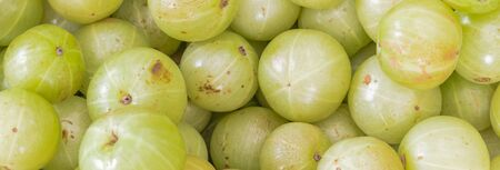 Panorama heap of fresh ripe Indian gooseberries on display at local market in Singapore. Full view background of green gooseberry textures.