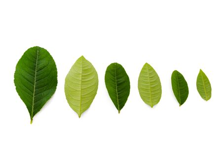Row of collection of Asian lime leaves isolated on white background. Freshly picked from home growth organic garden, green young leaves