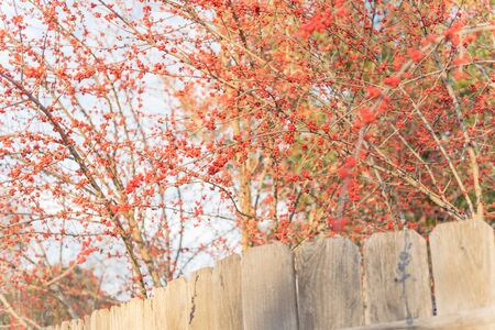 Red winterberry blossom near backyard fence. Ilex Decidua or winter berry, Possum Haw, Deciduous Holly red fruits on large shrub small tree no leaves dormant. Blaze of color in the fall in Dallas, Texas