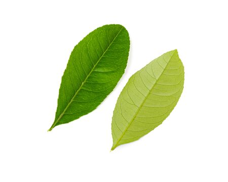 Two Asian lime leaves isolated on white background. Freshly picked from home growth organic garden, green young leaves