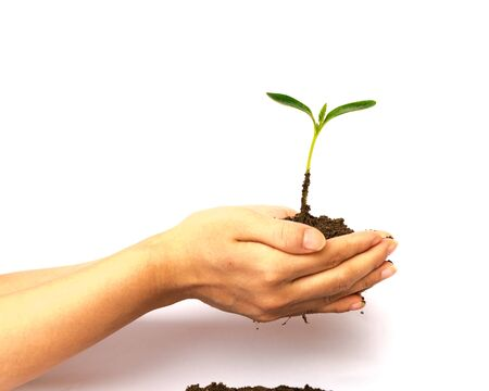Hands holding seedling on top of garden soil compost heap isolated on white background. Young plant green spout for growing, development, protection and nurture concept