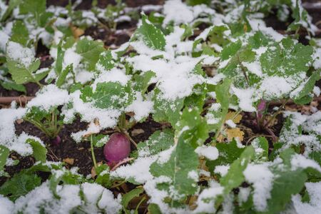 Close-up rutabaga (or swede, neep, snagger) plant growing in raised bed garden under snow cover near Dallas, Texas, America. A dark purple stain root vegetable cross between cabbage and turnip Stock fotó
