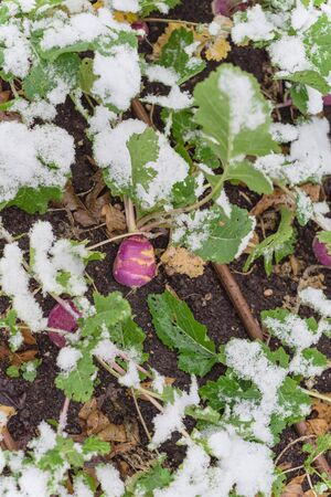 Rutabaga (or swede, neep, snagger) plant growing in raised bed garden under snow cover near Dallas, Texas, America. A dark purple stain root vegetable cross between cabbage and turnip Stock fotó