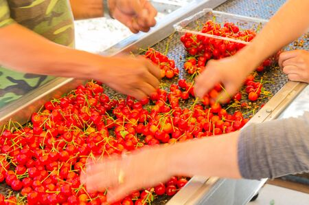 Close-up farmer hands sorting and processing red cherries manually on a wet conveyor belt machine in a packing line outdoor. Ready to package organic cherry in Yakima Valley, Washington, America