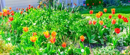 Panorama view blooming red tulips at flower bed in front yard of suburban house in Vancouver BC, Canada. Blossom springtime flowers and dandelion on grass lawn house entrance in sunny day
