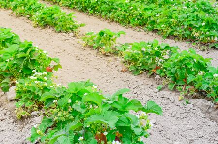 Row of strawberries plants with blossom flowers and green fruits in Puyallup, Washington, America. Healthy plants abundance of unripe strawberry on mound of well worked soil with no weeds Imagens