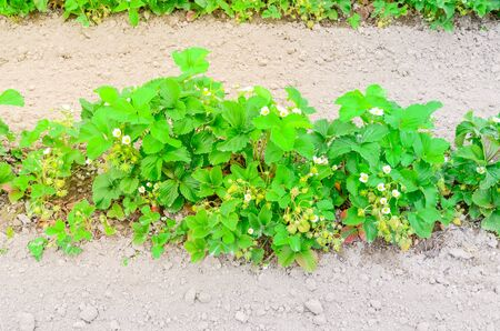 Top view strawberry bush with blossom flowers and green fruits at pick you own farm in Puyallup, Washington, America. Imagens
