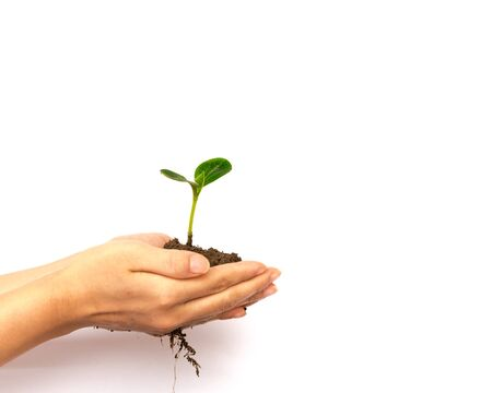 Asian woman hands holding seedling with soil isolated on white background. Young plant with healthy root system for growing, development and nurture concept